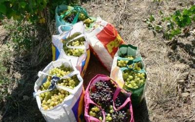 Hotii de struguri îi pun pe jar pe viticultorii huseni!