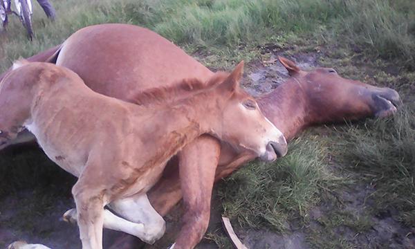 Un cal a fost omorât de un roi de albine, la Dimitrie Cantemir