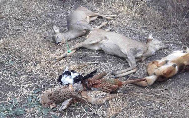 Animale sălbatice OTRĂVITE și în Timiș