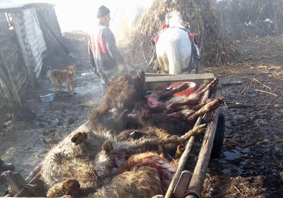 Ursul a făcut prăpăd în Livezi