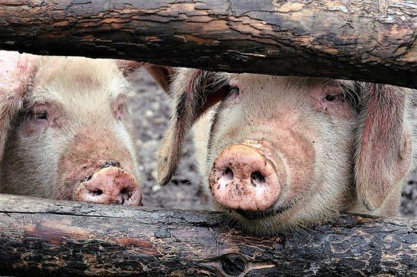Un nou focar de pestă porcină africană în judeţul Galaţi. 66 de porci, ucişi preventiv